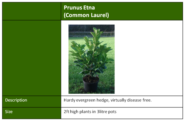 prunus etna common laurel