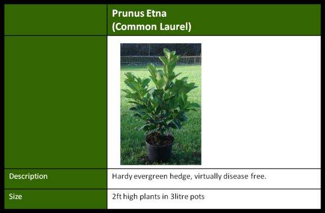 prunus etna common laurel