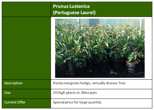 portugese laurel hedging
