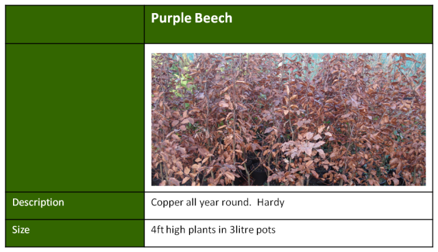 purple beech hedging
